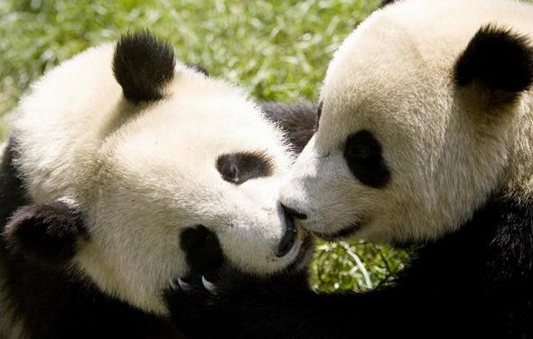 可爱壁纸唯美熊猫